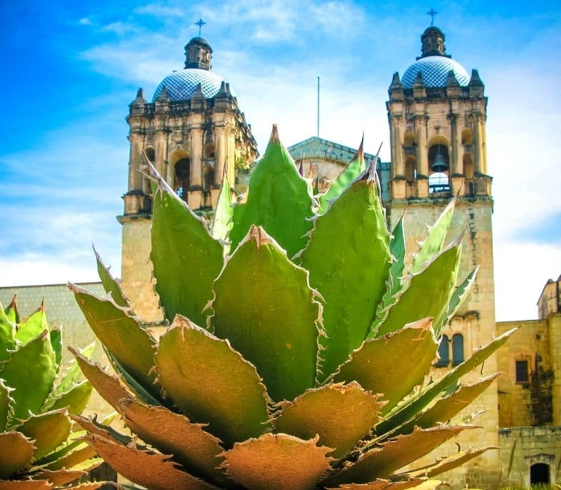 large agave plant in front of a colonial church