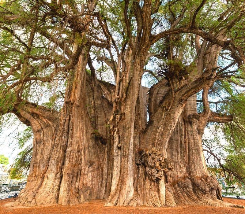 very big tree