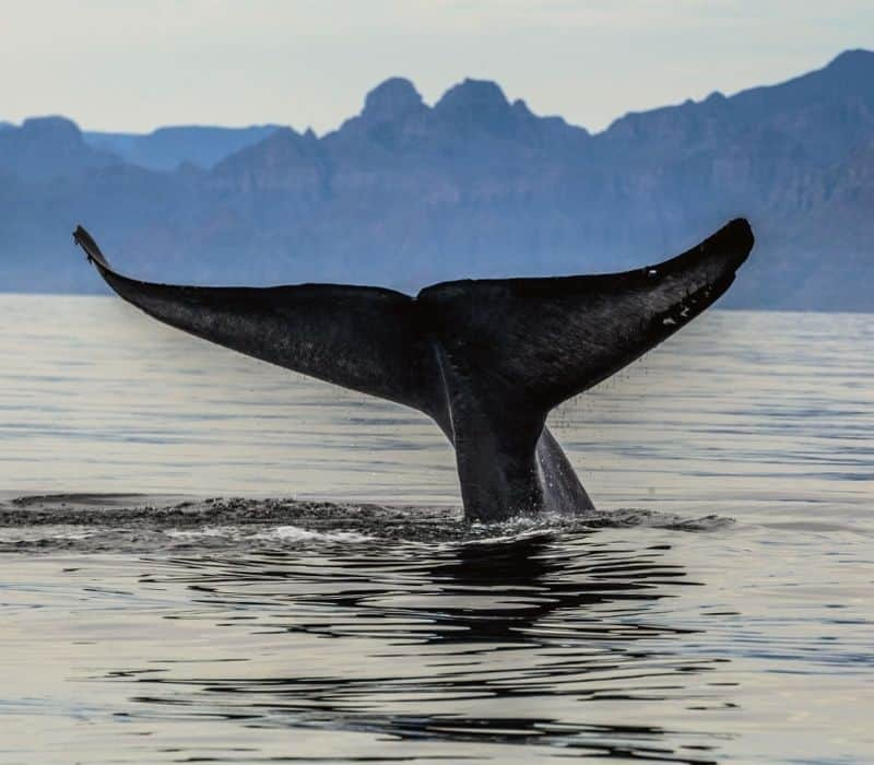 blue whale tail coming out of the water and mountains in the background in Loreto, one of the Safest Cities in Mexico